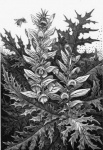 Acanthus - click to enlarge
