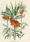 Fritillaria Imperialis - click to enlarge